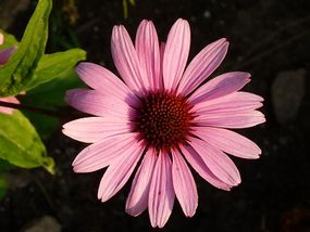 Echinacea Herbal Remedy Tablets from The Body and Mind Shop