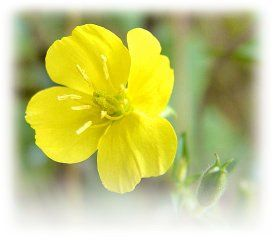 Evening Primrose Rescue from The Body and Mind Shop